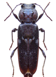 Carcoma gegant - Ambinet